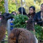 Lamas in der eigenen Landwirtschaft des Kinderheims Comunidad La Providencia, Cuatro Esquinas. (Foto: Florian Kopp/SMMP)